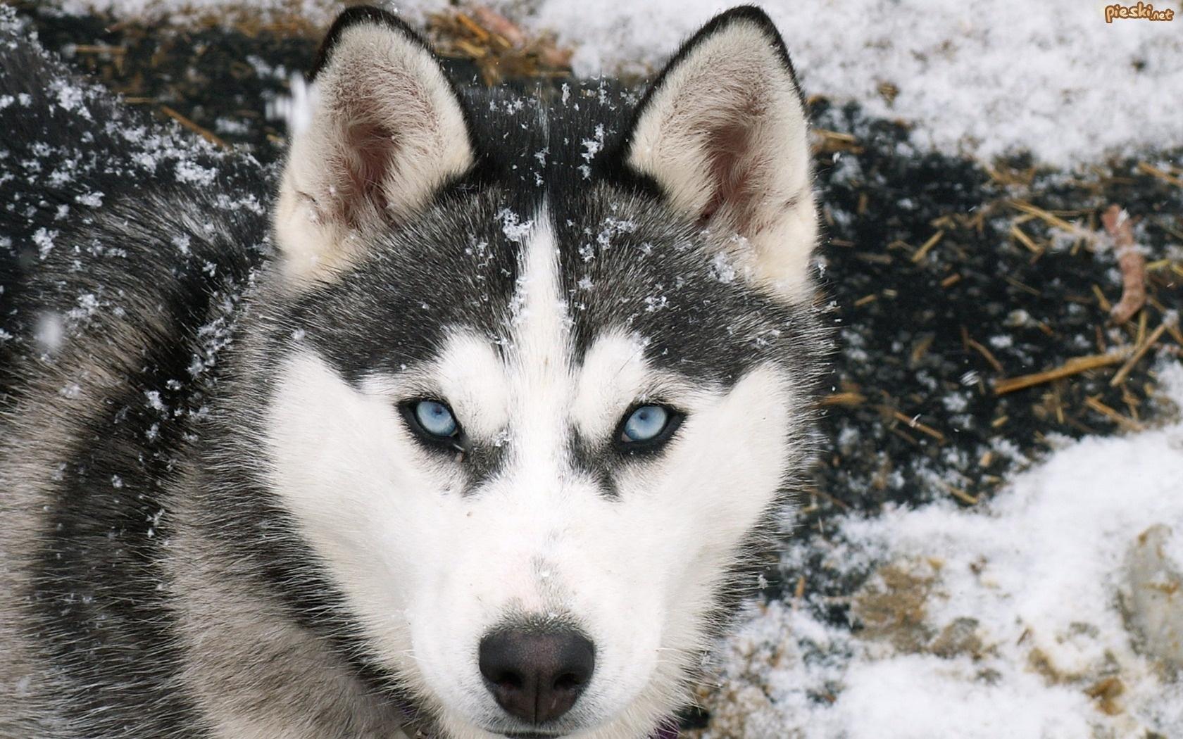 Pies Siberian Husky, Śnieg