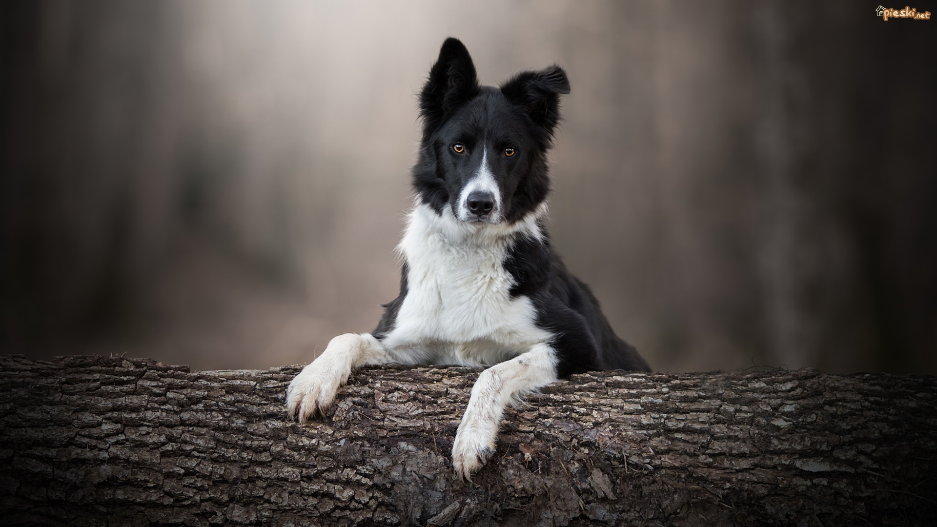 Pies, Border collie, Mordka, Drzewo