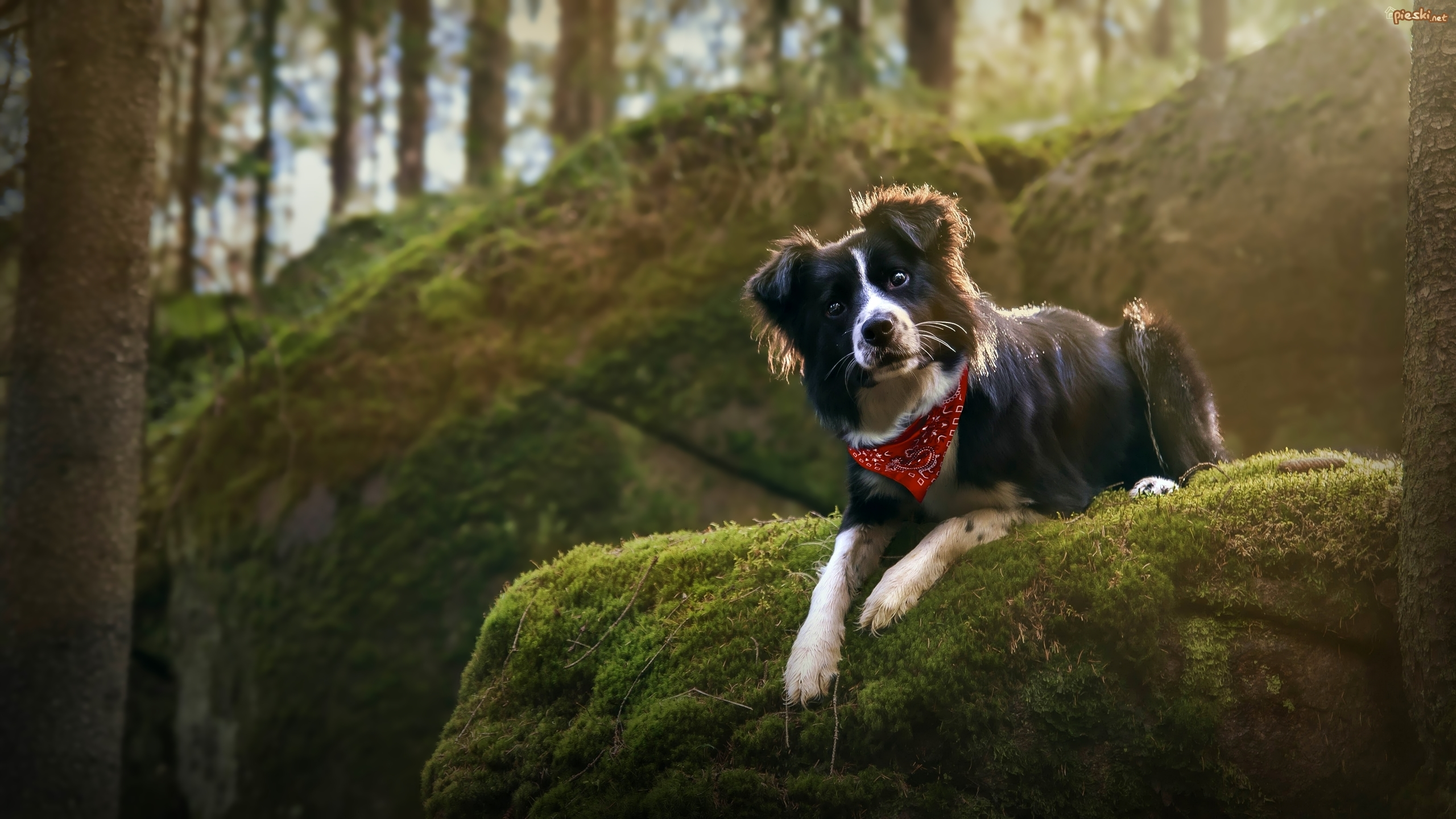 Pies, Border collie, Chustka, Omszała, Skała