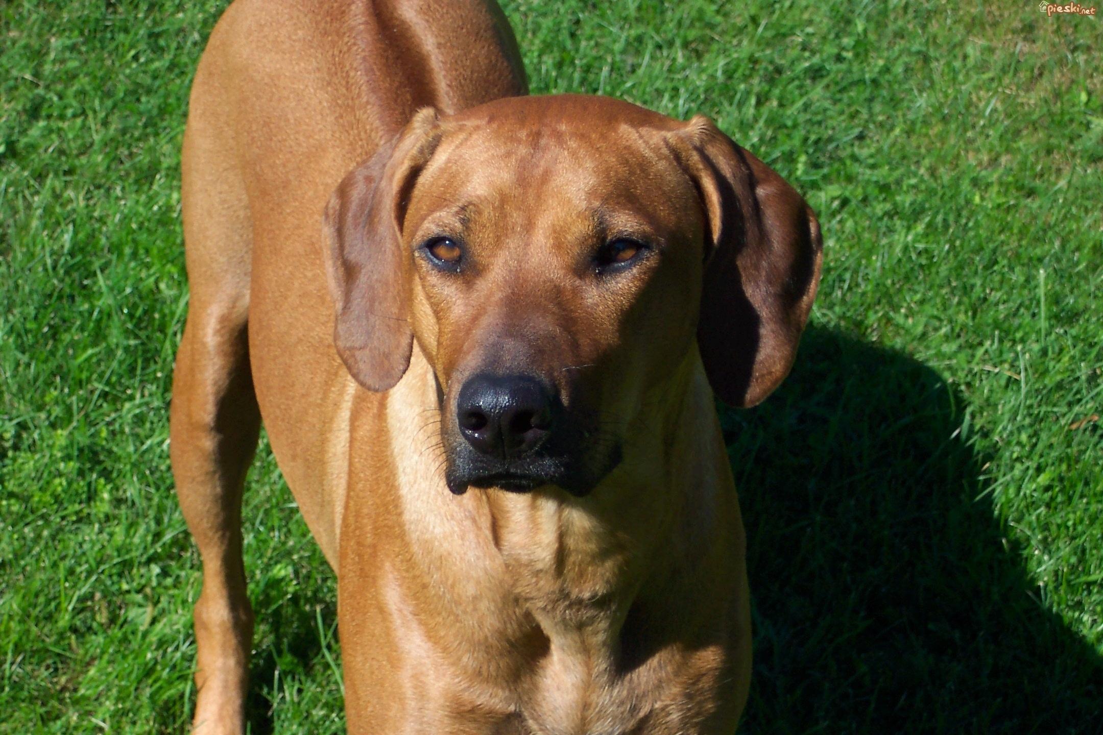 rhodesian ridgeback dog on field wallpaper