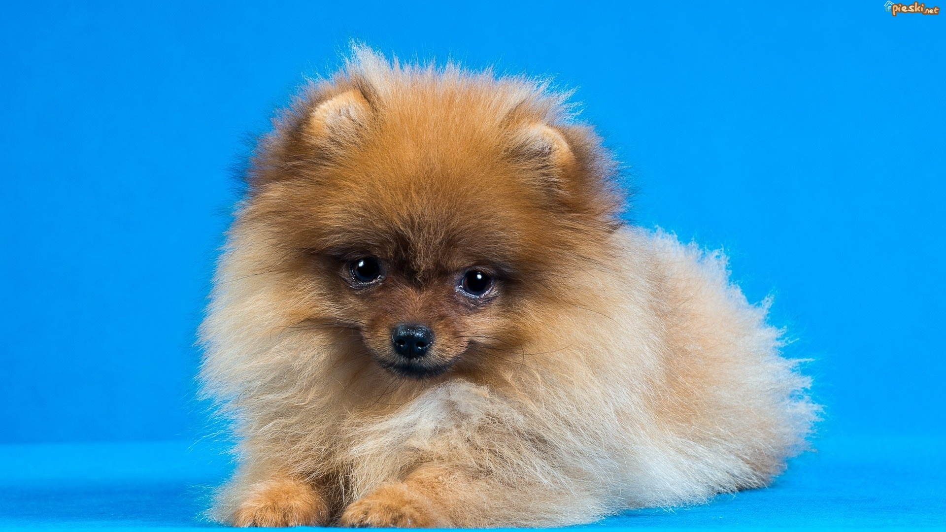 Pies szpic miniaturowy