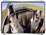 Psy, Border Collie, Kabriolet