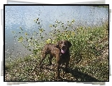 Chesapeake Bay retriever, woda