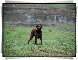 Mokry, Chesapeake Bay retriever