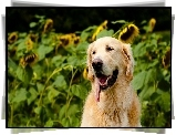 Golden Retriever, J�zor, S�oneczniki
