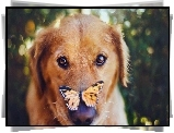 Mordka, Psa, Golden retriever, Motyl