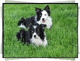 Dwa, Pieski, Border Collie, Trawa