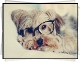 Pies, Okulary, Yorkshire Terrier