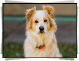 Pies, Be�owy, Border Collie