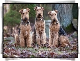 Trzy, Psy, Wire Haird Terrier