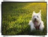 Piesek, West Highland White Terrier
