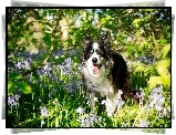 Pies, Border, Collie, ��ka