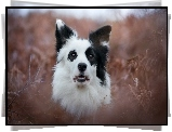 Border collie, Portret