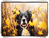 Border Collie, Forsycja