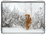 Golden retriever, Zima, Szron, Krzewy