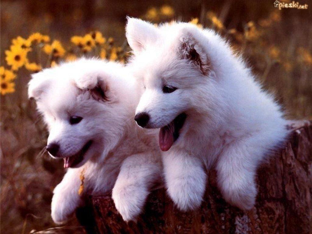 Super Pies Dwa, Małe, Białe, Samojedy AU86
