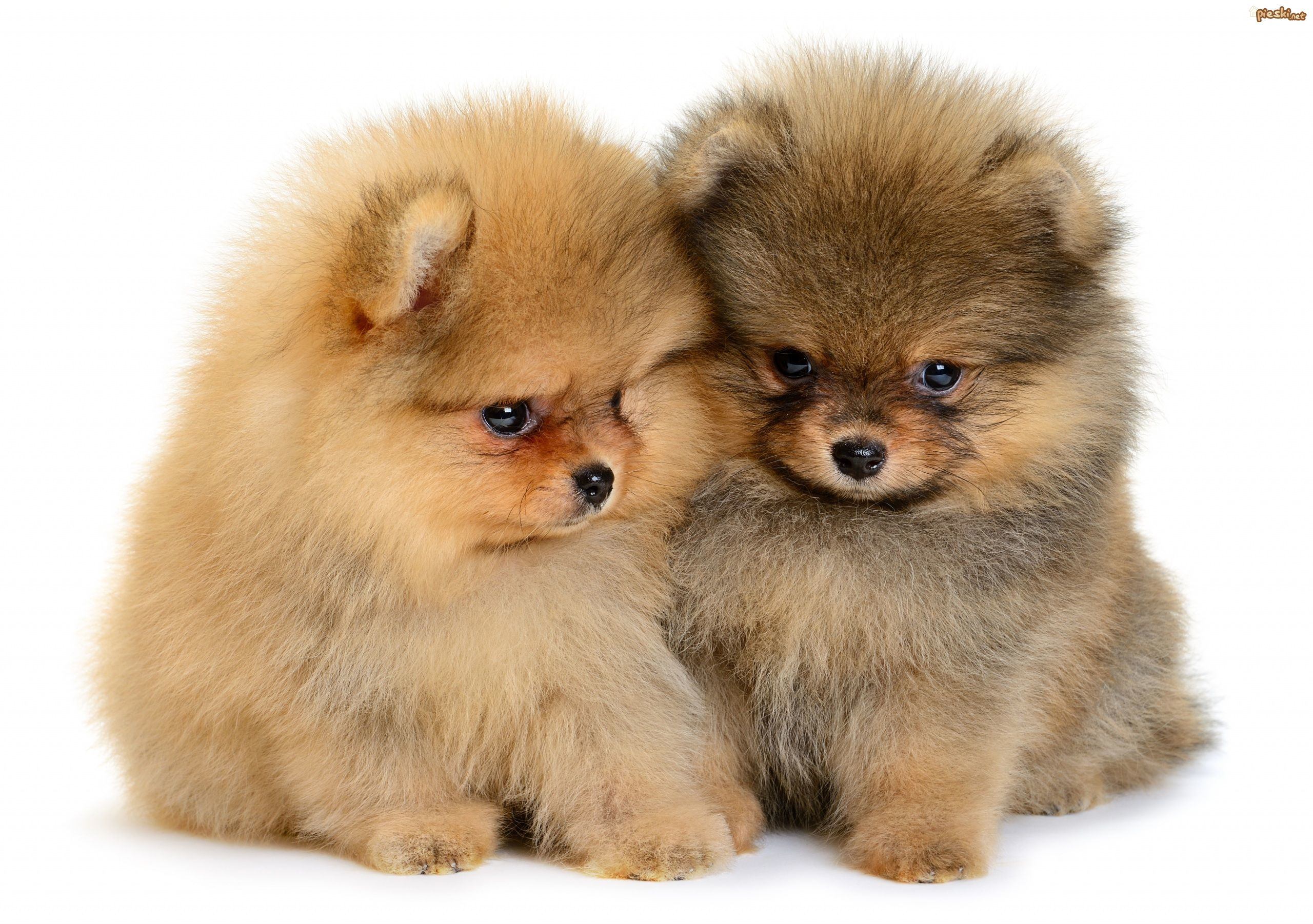 Inteligentny Pies Dwa, Psy, Szpice miniaturowe, Pomeraniany, Szczeniaki ZY08