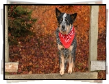 Pies, Australian cattle dog, Chustka