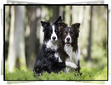 Dwa, Psy, Border collie, Las