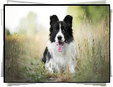 Pies, Border collie, Mordka, Trawa