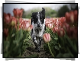 Pies, Border collie, Tulipany