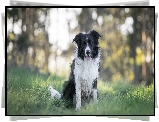 Pies, Border collie, Trawa, Bokeh