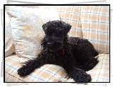 Kerry blue terrier, sofa