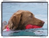 Aportujący, Chesapeake Bay retriever, woda