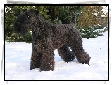 Kerry blue terrier, śnieg