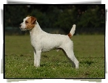 Parson Russell Terrier, trawa