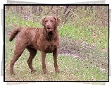 Brązowy, Chesapeake Bay retriever