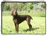 Pudel Pointer, trawa