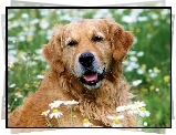 Golden, Retriever, Kwiatki, Trawa
