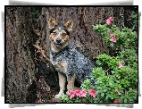 Piesek, Australian cattle dog