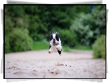 Boston terrier, Bieg