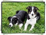 Dwa, Border Collie, Trawa