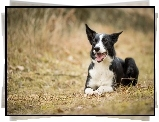 Pies, Border Collie, Trawa