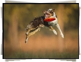 Border Collie, Skok, Frisbee