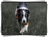 Border collie, Chustka