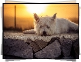 West Highland White terrier, Murek, Słońce
