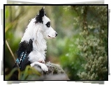 Border collie, Murek, Rozmyte, Tło