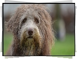 Kosmaty, Bearded collie, Mordka