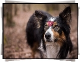 Pies, Border collie, Listek